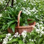 Basket full of Wild Garlic