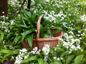 Basket full of Wild Garlic